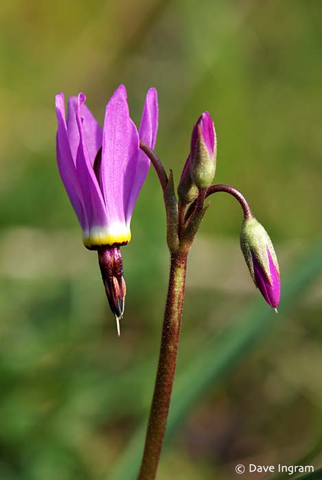 Broad-leaved Shootingstar (Dodecatheon hendersonii)