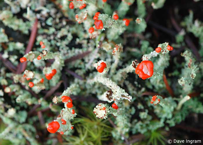 Toy Soldiers (Cladonia bellidiflora)