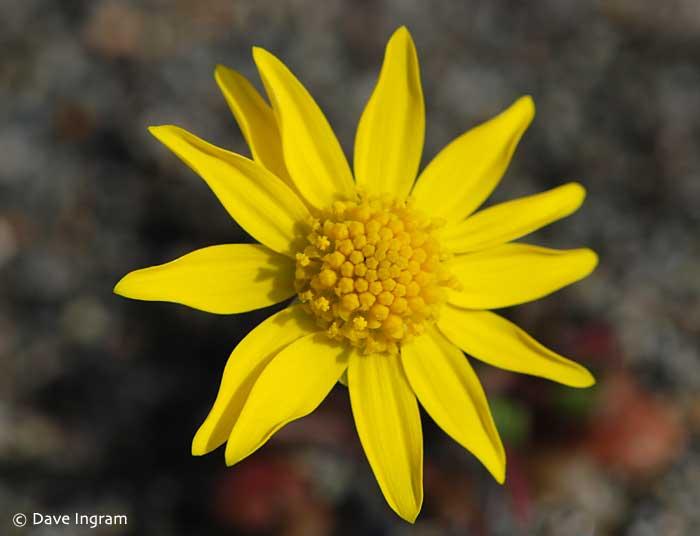 Gold Star (Crocidium multicaule)