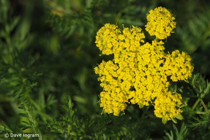 Spring-gold (Lomatium utriculatum)
