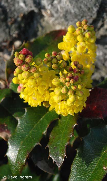 Tall Oregon-grape (Mahonia aquilifolium)