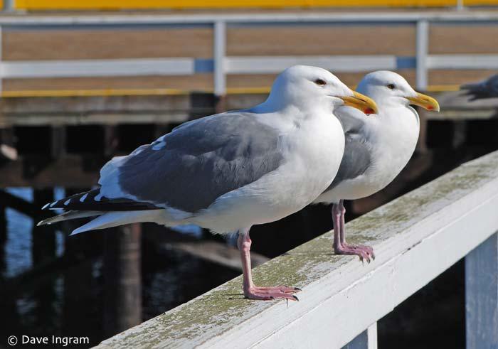 Western Gulls (Larus occidentalis)