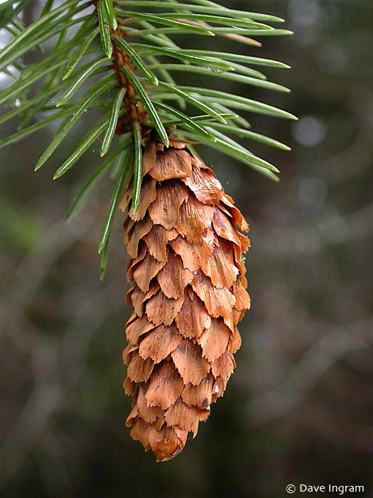 Sitka Spruce (Picea sitchensis) Cone