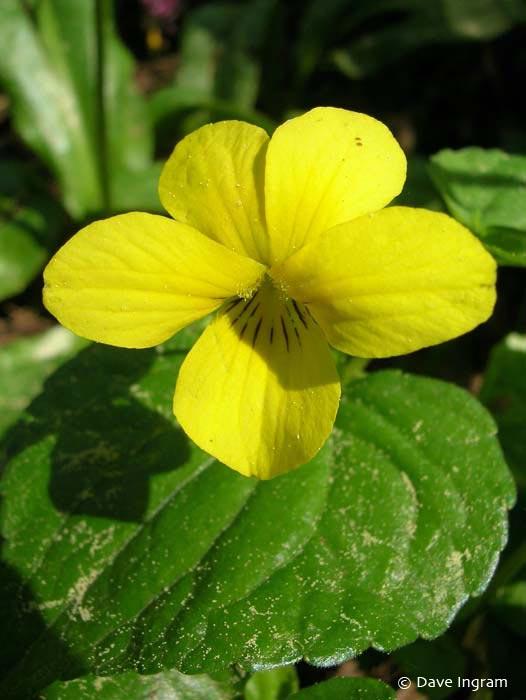 Streamside Violet (Viola glabella)