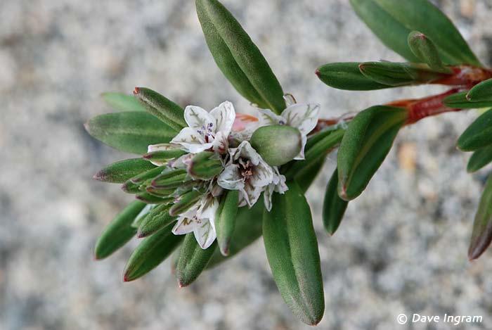 Black Knotweed (Polygonum paronychia)