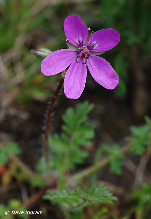Common Stork's-bill (Erodium cicularium)