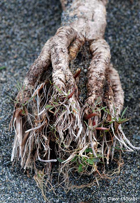Bare-stem Desert-parsley (Lomatium nudicaule) roots