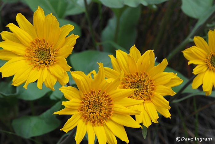 Arrow-leaved Balsamroot (Balsamorhiza sagittata) Flowers