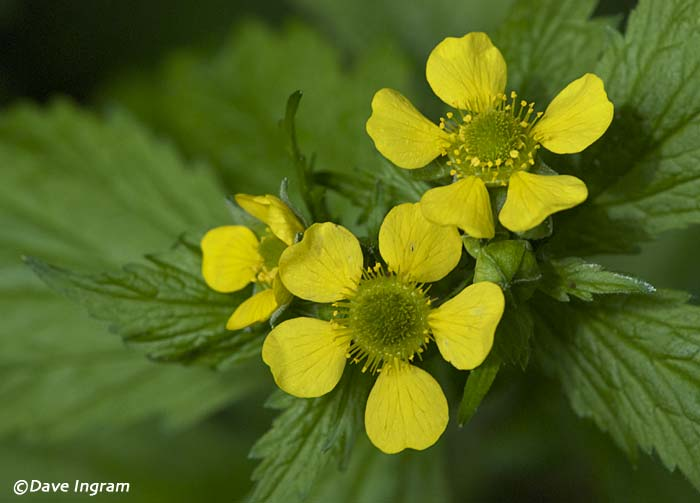 Large-leaved Avens (Geum macrophyllum)