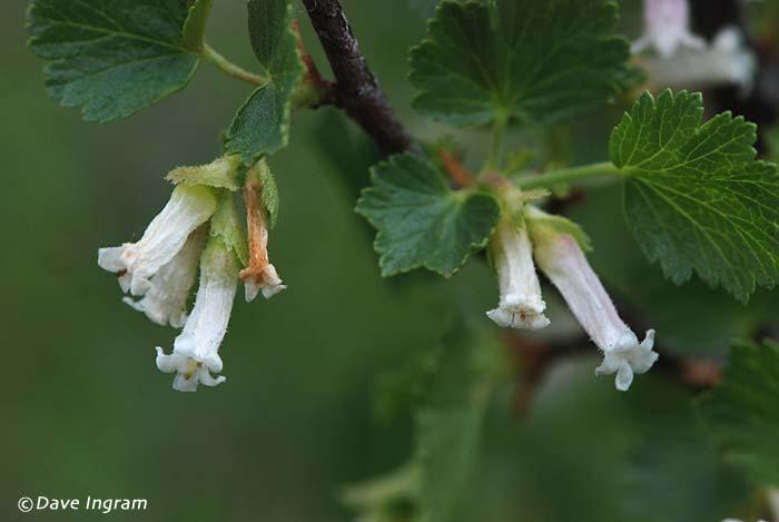 Squaw Currant (Ribes cereum)