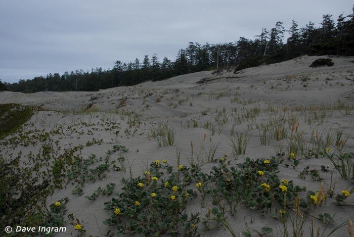Wickaninnish Beach Dunes