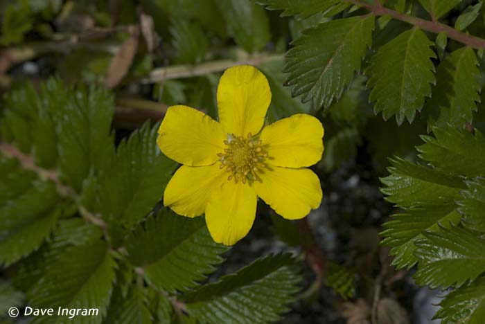 Silverweed (Potentilla anserina ssp. pacifica)