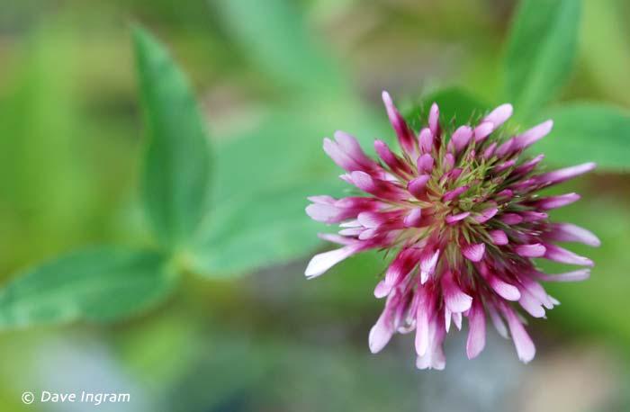 Springbank Clover (Trifolium wormskjoldii)