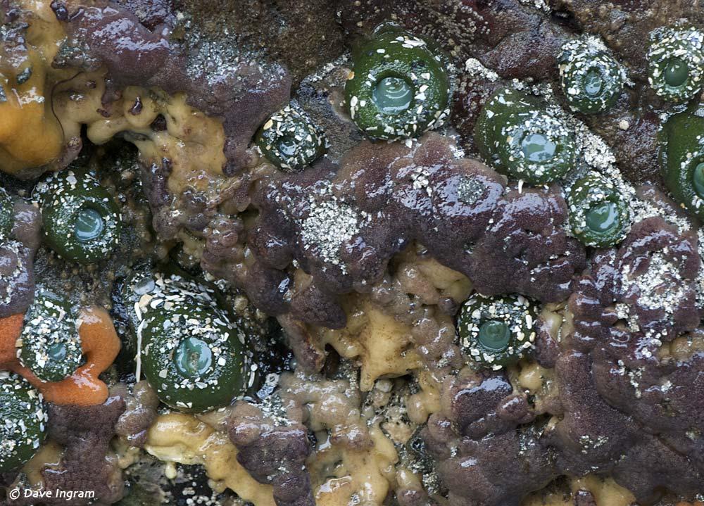 Sea Pork (Aplidium sp.?) and Purple Intertidal Sponge(Haliclona permollis?)