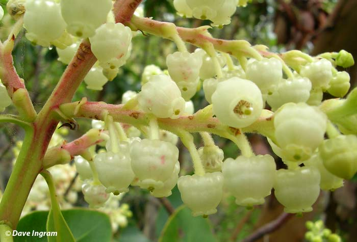 Arbutus (Arbutus menziesii) Flowers