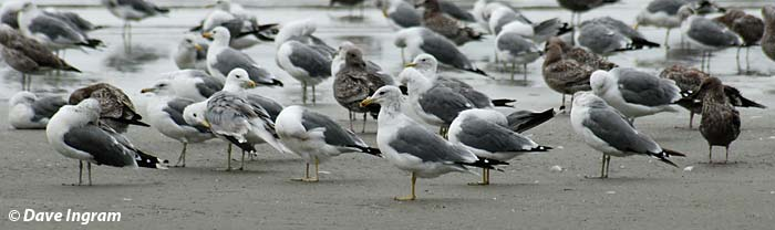 California Gulls (Larus californicus)