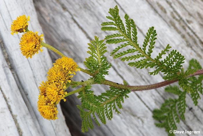 Dune Tansy (Tanacetum bipinnatum ssp. huronense)