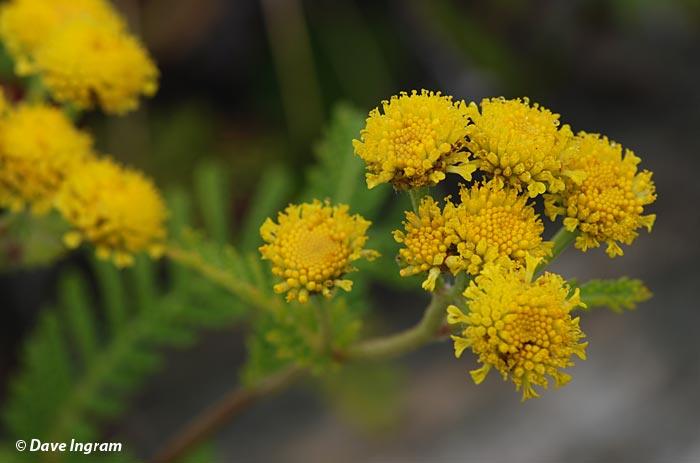 Dune Tansy (Tanacetum bipinnatum ssp. huronense) Flower
