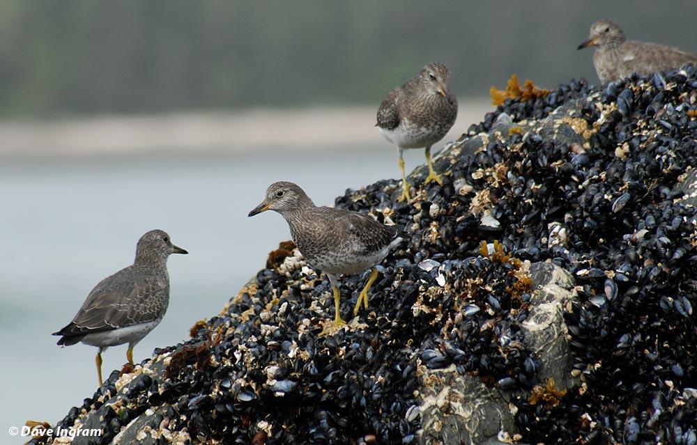 Flock of Surfbirds (Aphriza virgata)