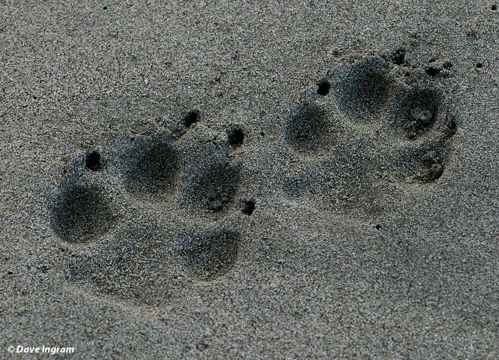 Grey Wolf Tracks