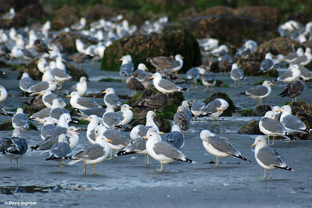 California Gulls (Larus californicus) at Florencia Bay
