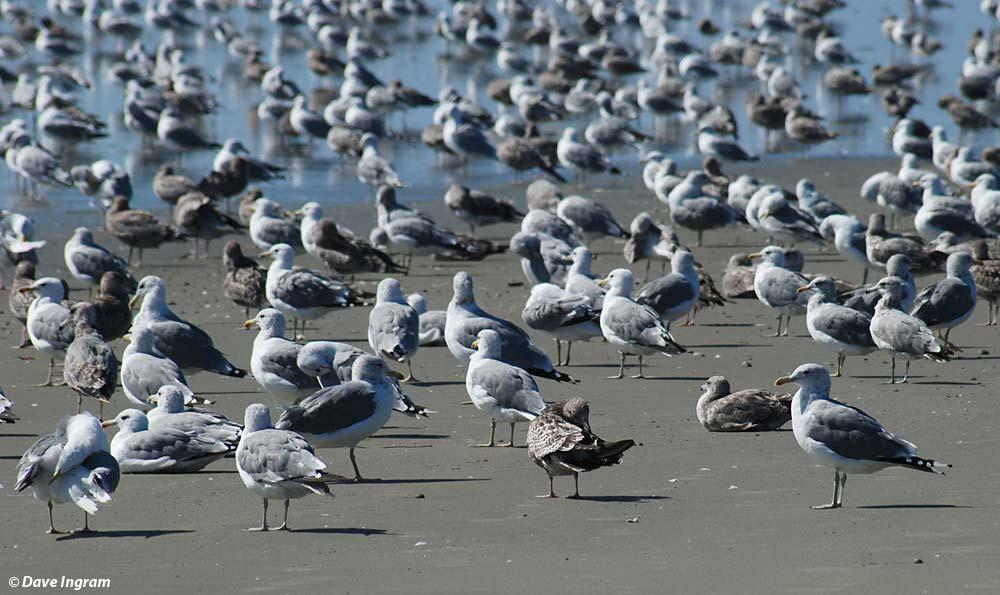 California Gulls (Larus californicus) at Wickaninnish Beach