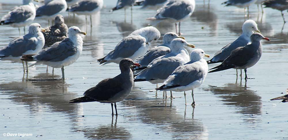Heermann's Gulls (Larus heermanni)