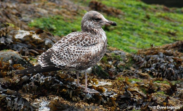 Juvenile California Gull (Larus californicus)