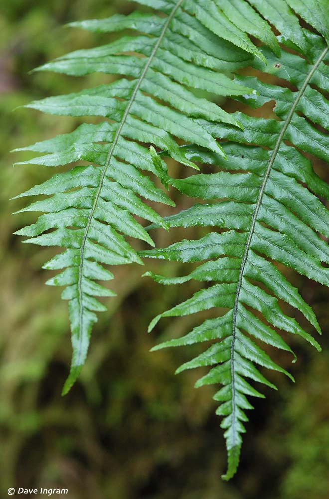 Licorice Fern