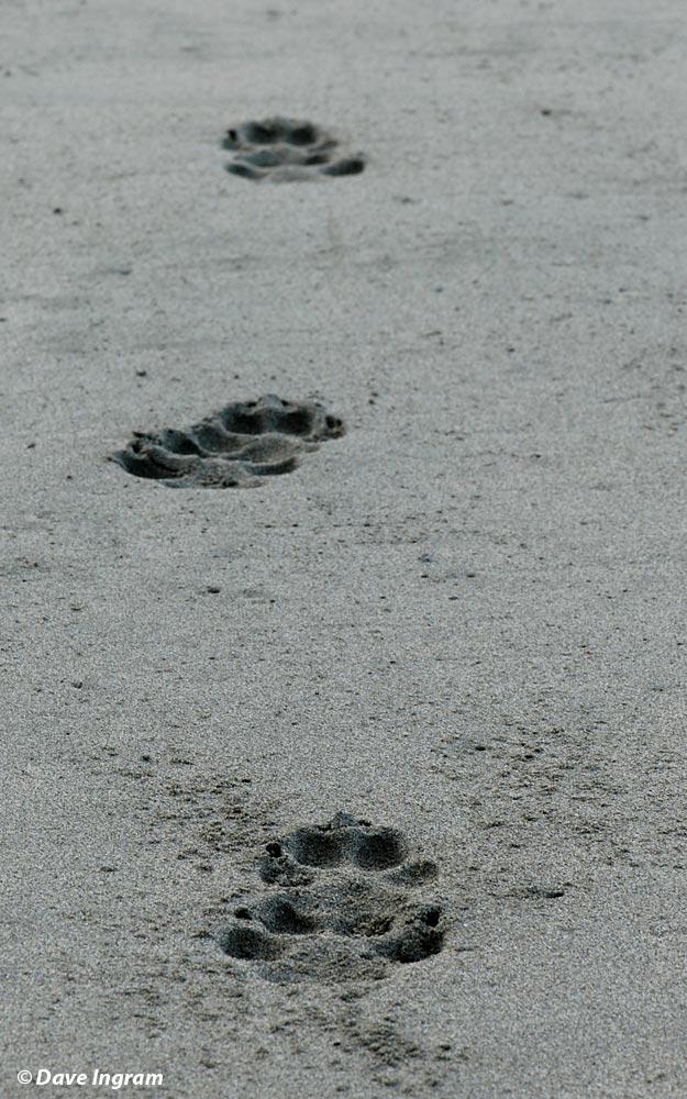 Line of Grey Wolf Tracks