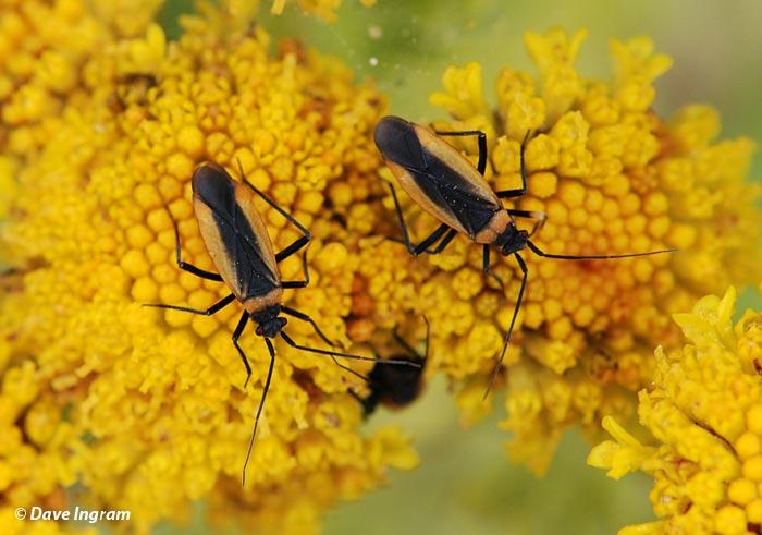 Pollinators on Dune Tansy (Tanacetum bipinnatum ssp. huronense)