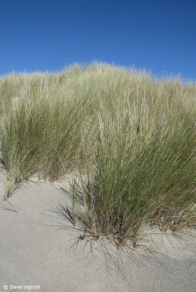 European Beachgrass (Ammophila arenaria)