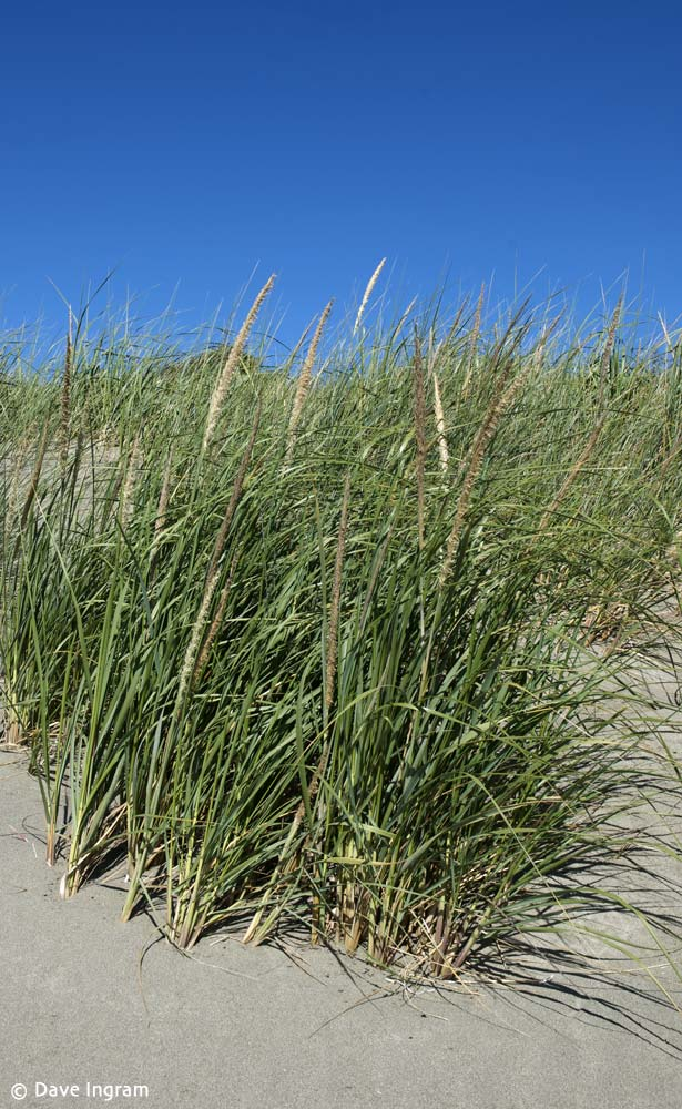 American Beachgrass (Ammophila breviligulata)