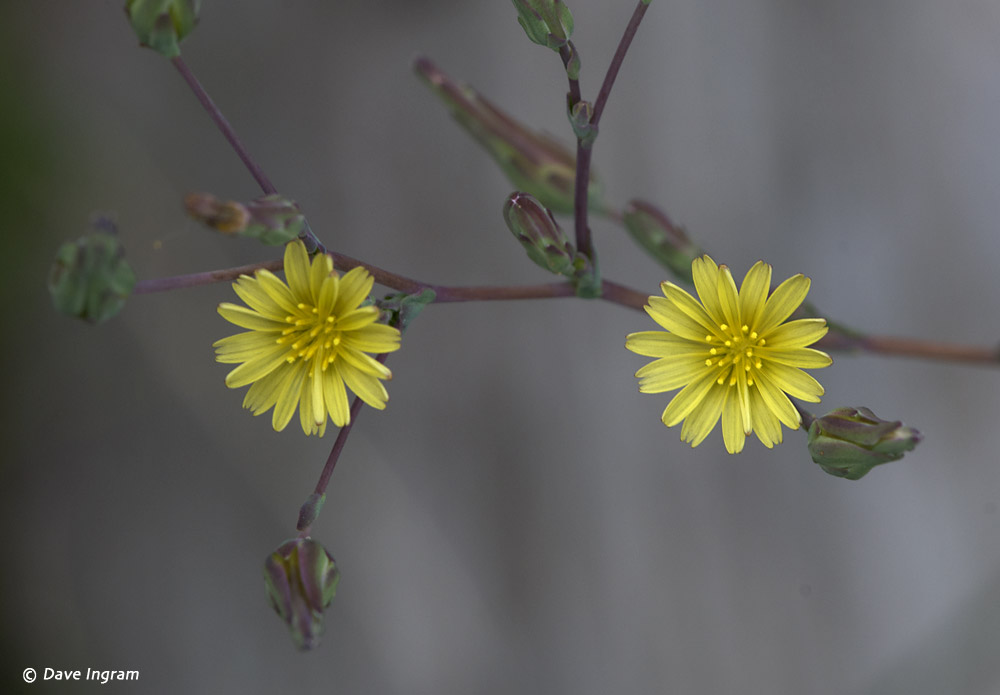 Prickly Lettuce (Lactuca serriola) Flowers