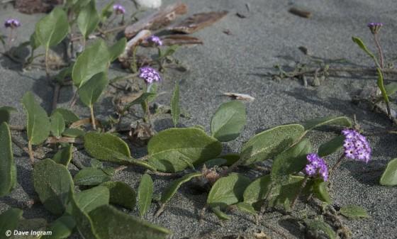 Pink Sand-verbena (Abronia umbellata breviflora)