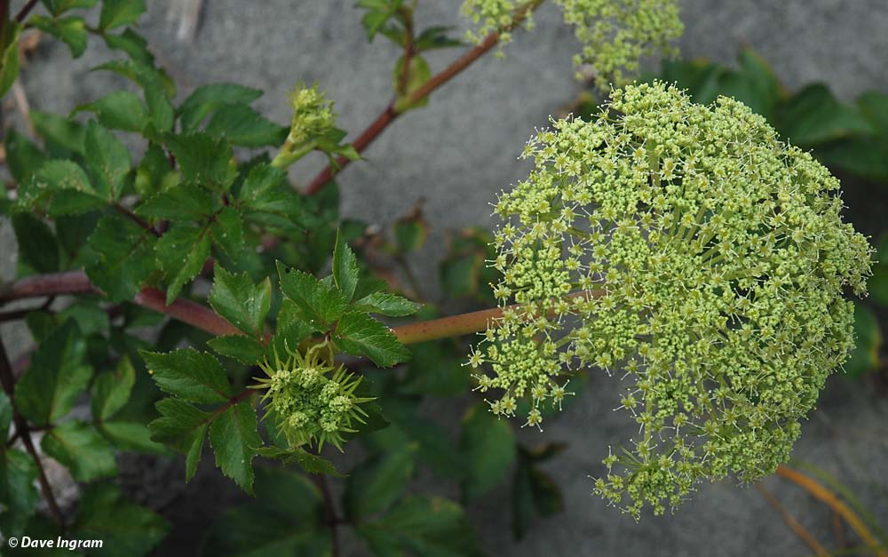 Sea-watch (Angelica lucida) Flowers