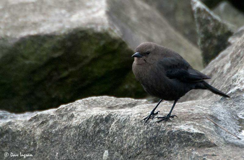 Female Brewer's Blackbird (Euphagus cyanocephalus)