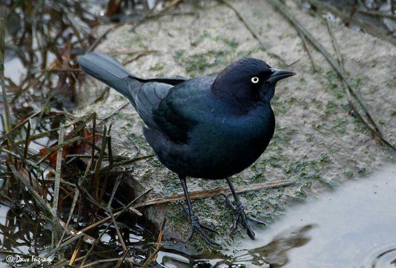 Male Brewer's Blackbird (Euphagus cyanocephalus)