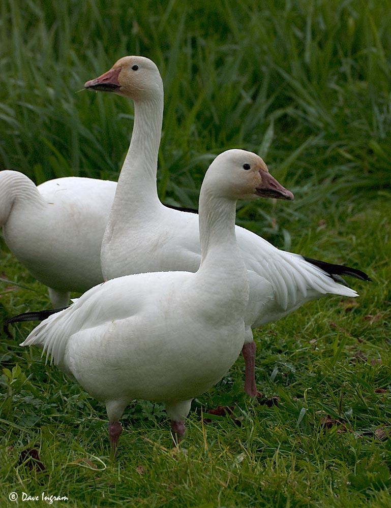 Snow Geese (Chen caerulenscens)