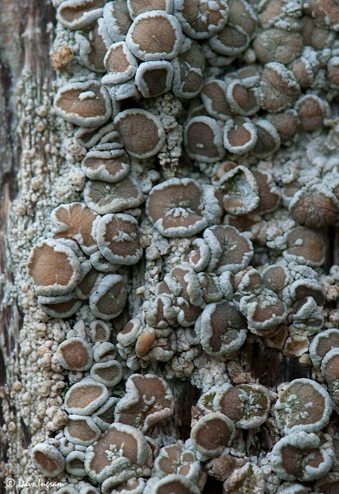 Gray Lichen