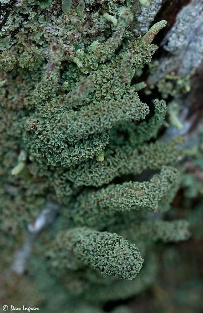 Green Lichen