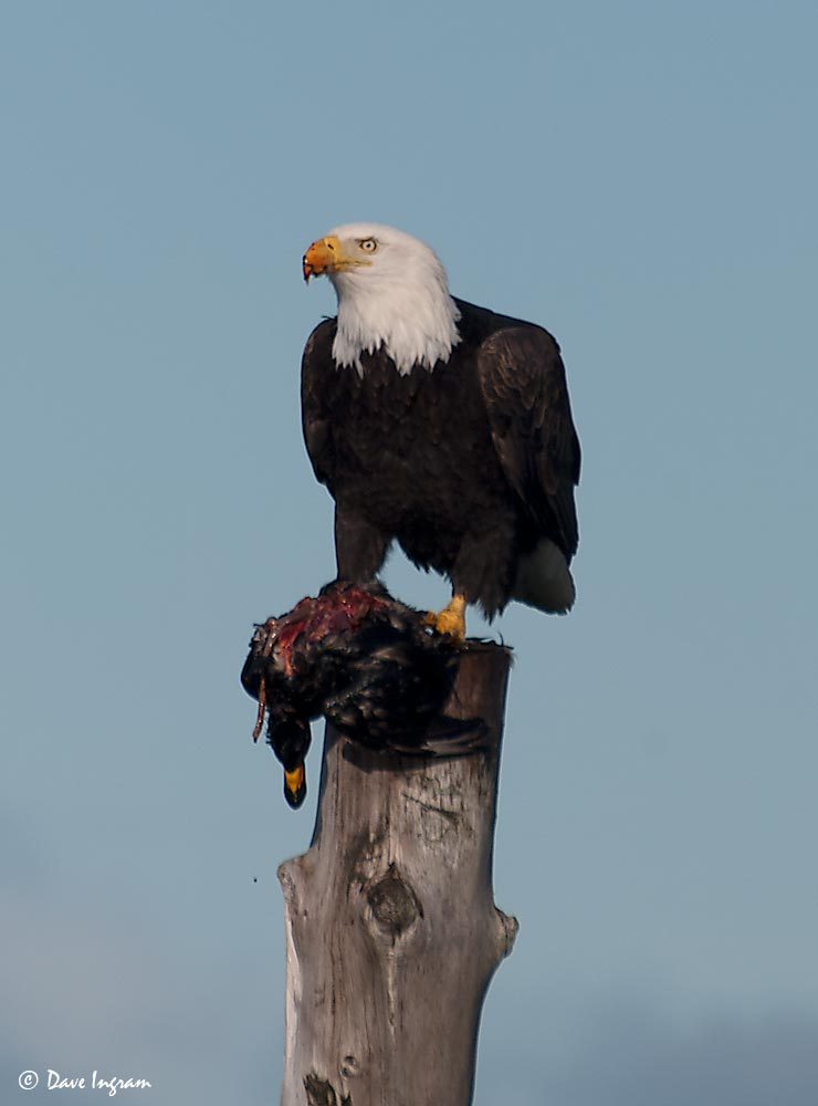 Bald Eagle with Black Scoter #3