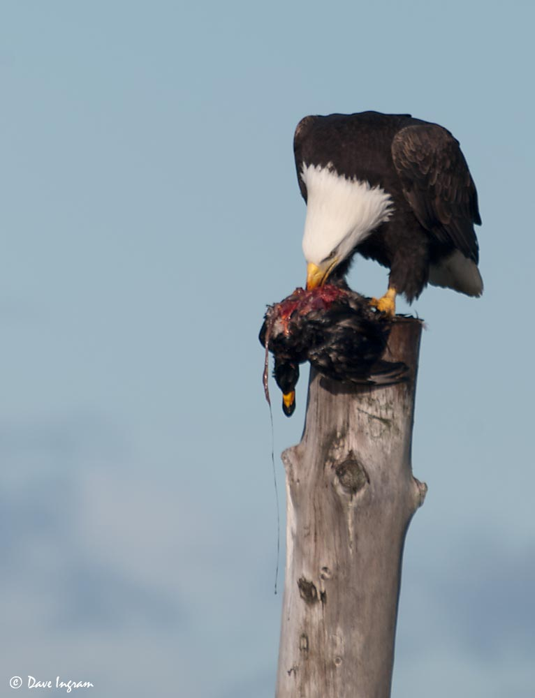 Bald Eagle with Black Scoter #1