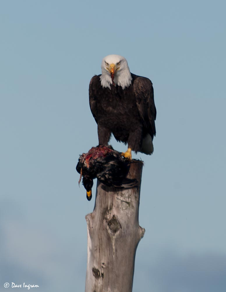 Bald Eagle with Black Scoter #2