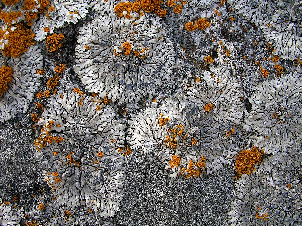 Looking at Lichens  Looking at Lich...