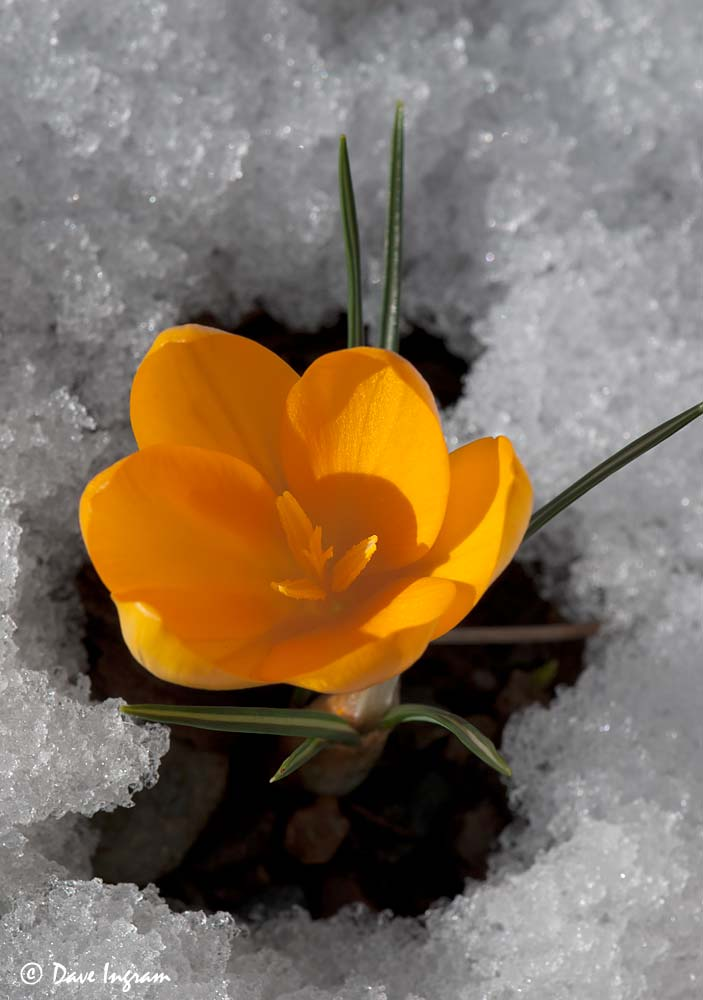 Crocus in Snow #2