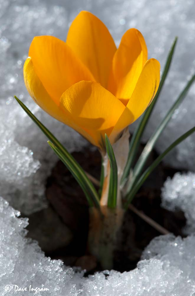 Crocus in Snow #1
