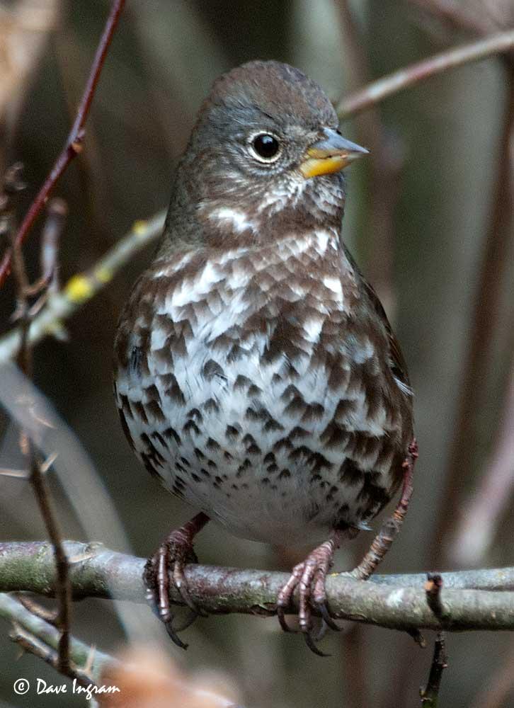 Fox Sparrow (Passerella iliaca)