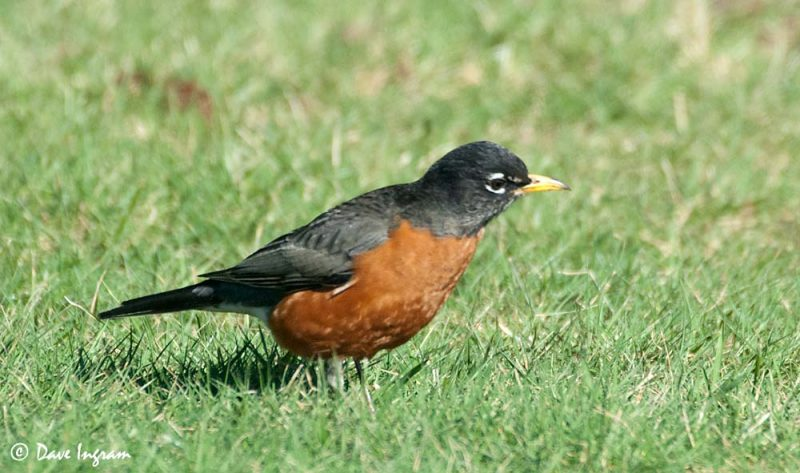 American Robin (Turdus migratorius) Looking for Worms