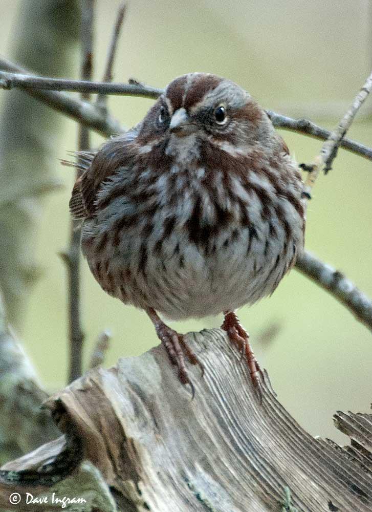 Song Sparrow (Melospiza melodica)